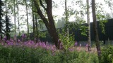 Misty morning with fireweed (Chamaenerion angustifolium)