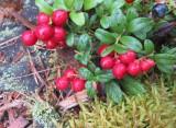 Lingonberries after rain
