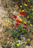 Wild Flowers,  Poppies and ?? in Cyprus
