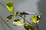 Broad-bodied Chaser / Blå Libel
