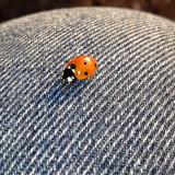Ladybird on cotton-road / Mariehøne på bomulds-vejen