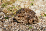Commen toad mating pair / Skrubtudser parrer