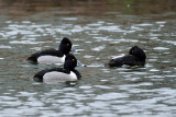 Male Ring-necked Ducks