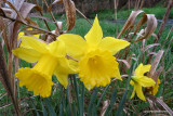 Daffodils in the gully
