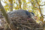 The heron are nesting