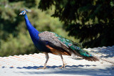 Peacock on a tin roof