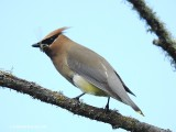 Ceder Waxwing with a damselfly