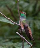 Buff -bellied Hummingbird