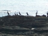 Collection of Cormorants at Es Calo