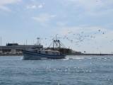 Fishing Boat Returns - With Gulls