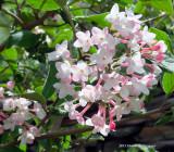 Viburnum carlesii,  Korean Spice
