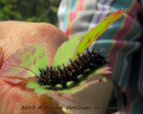 Baltimore Checkerspot Caterpillar!