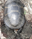 Painted Turtle lays eggs in my garden