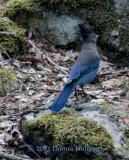 Steller's Blue Jay