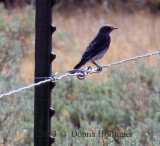 Mountain Bluebird on the fence