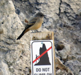 Juvenile Say's Phoebe on a Tufa Outcrop