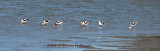 5 of 6 Avocets in Breeding Plumage