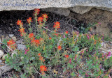 Indian Paintbrush Wildflower