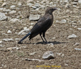 Female Brewer's Blackbird (Euphagus cyanocephalus)