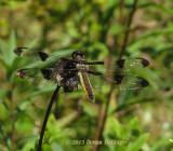 Twelve Spotted Skimmer (female)