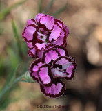 Dianthus From Crossroads