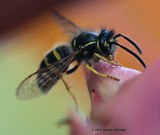 Yellow Jacket with a Buzz Cut
