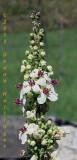 Verbascum Flower