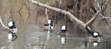 Four Hooded Mergansers
