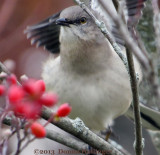 Mockingbird, Ready to Gobble Berries