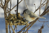 Titmouse on a seed feeder
