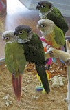 Two Pairs of Black Capped Conures