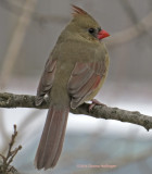 Female Cardinal Outside My Window