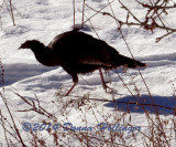 Female or subadult Turkey at the Pond
