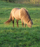 Icelandic Horse in Tunbridge