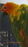 Little Sunshine Conure