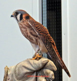 A Kestrel as big as your Fist