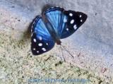 Blue Butterfly761.perubf.8441.jpg