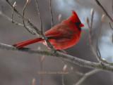 Bright Male Cardinal