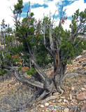 Dessicated Juniper at Ghost Ranch