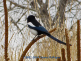 Magpie in Colorado