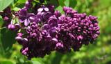 Anni's Lilac