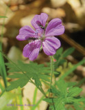 Geranium Flower With Insects