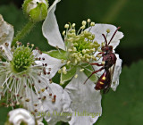 Red Wasp on Blackberry