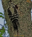 Downy.Woodpecker