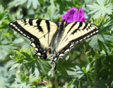 Swallowtail on Geranium