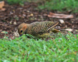 Fernandina's Female Flicker