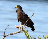 Common Black-Hawk, Buteogallus anthracinus