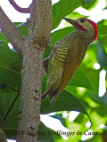 Golden-olive Woodpecker (Piculus rubiginosus yucatanensis).