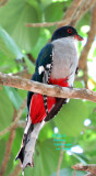 Cuban Trogon (so you can see the red feathers)