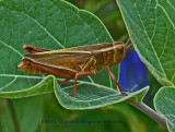 Brown Grasshopper on Datura Leaf
